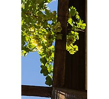 Overhead Grape Harvest - Summertime Dreaming Of Fine Wines - A Vertical View Photographic Print