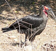 Southern Ground Hornbill, Kruger N. P., South Africa by Margaret  Hyde