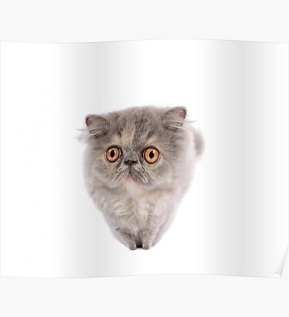 Cute Persian kitten with wide eyes Poster