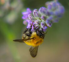 The Bee & The Lavander by WillBov