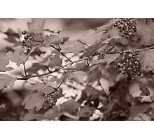 Wild berries Photographic Print