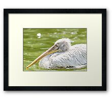 White Pelican Bird In Wilderness Delta Water Framed Print