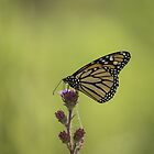 Monarch And Blazing Star by Thomas Young