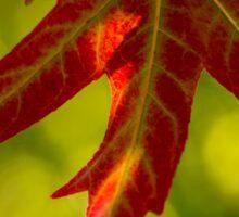 Maple Leaves 2 Sticker