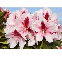 Rhododendron 'Mrs G.W. Leak' Flowerhead in Spring Photographic Print