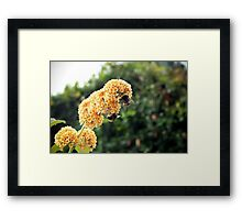 Yellow buddleia and bumble bees Framed Print