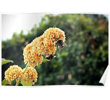 Yellow buddleia and bumble bees Poster