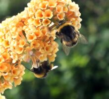 Yellow buddleia and bumble bees Sticker