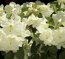 Rhododendron 'Lemon Lodge' in Full Bloom by hortiphoto