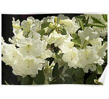 Rhododendron 'Lemon Lodge' in Full Bloom Poster