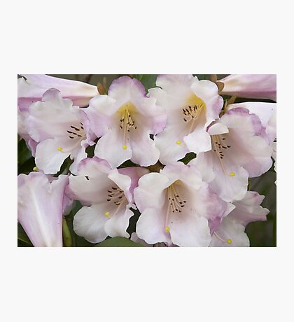Rhododendron 'Countess of Haddington'  Photographic Print