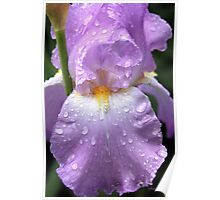 Rain Catcher Iris ~ A Pretty Wet Flower Poster