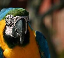 Macaw by Henrik Lehnerer