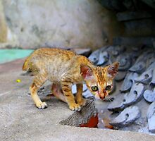 Kitty From Cambodia  by joshua  rubin