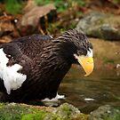 Stellers Sea Eagle III by Daniela Pintimalli