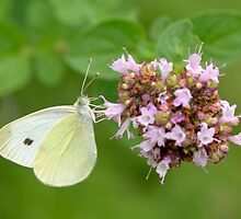 White Butterfly on Oregano by Heather Pickard