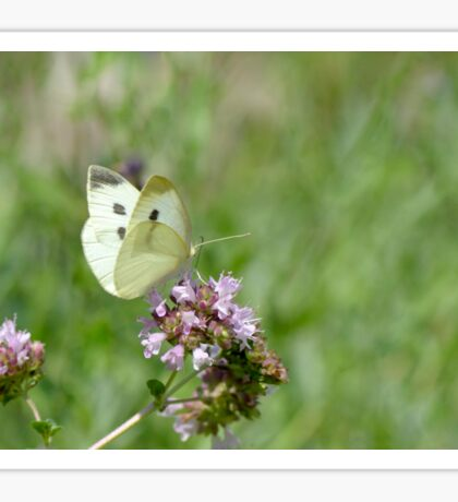 Cabbage White Butterfly and Oregano Sticker