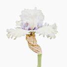 Iris by Floyd Hopper