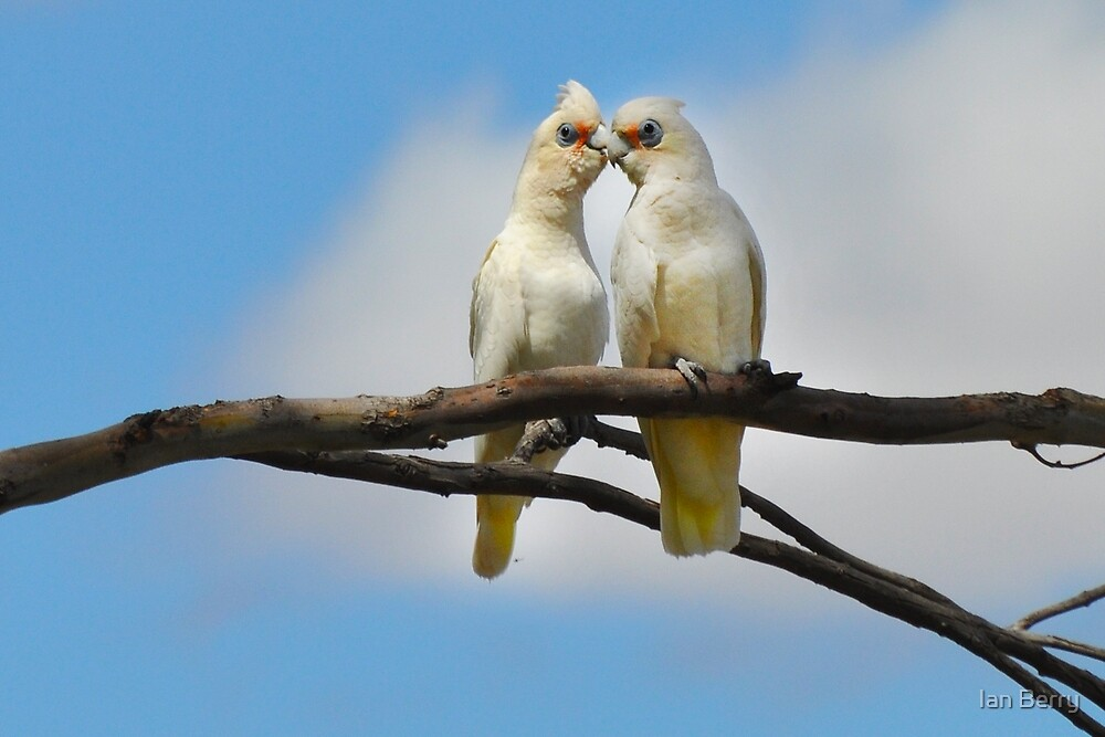 Ain't love grand - Two Little Corellas by Ian Berry