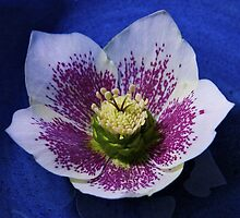 Hellebore by George Row