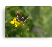 Flora - Brown Argus Metal Print