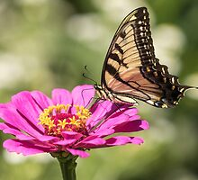 Eastern Tiger Swallowtail 2016-1 by Thomas Young