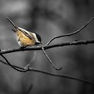 Black-capped Chickadee - selective colour by PhotosByHealy