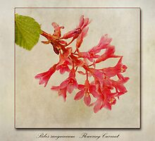 Ribes sanguineum - Flowering Currant by John Edwards