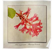 Ribes sanguineum - Flowering Currant Poster