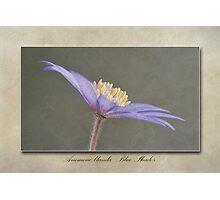 Anemone blanda Blue Shades Photographic Print