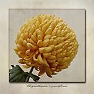 Chrysanthemum grandiflorum Yellow by John Edwards