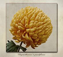 Chrysanthemum grandiflorum Yellow by John Edwards
