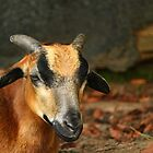 Posing Cameroon Sheep by karina5