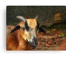 Posing Cameroon Sheep Canvas Print
