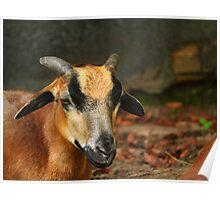 Posing Cameroon Sheep Poster