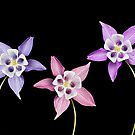Aquilegia Flower by Patricia Jacobs DPAGB LRPS BPE4