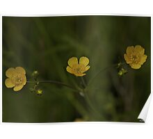 Three Meadow Buttercups - Burntollet Woods, County Derry Poster