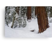 Sequoia Trees in Winter Canvas Print