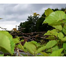 Vines and wire Photographic Print