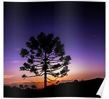 Araucaria Under Orion Poster
