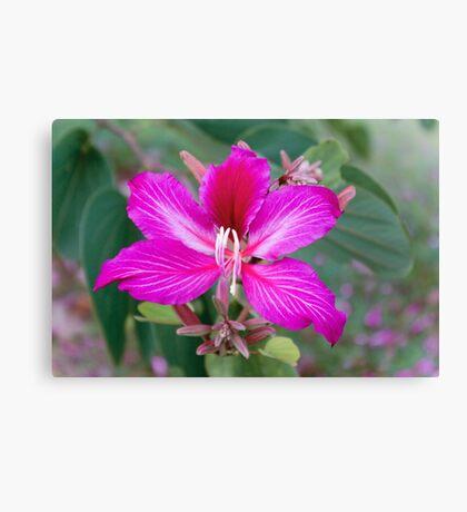 Bauhinia Purpurea Orchid Flower Canvas Print