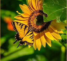 SWALLOWTAIL ON SUNFLOWER by RGHunt