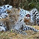Leopard siblings playtime by Sharon Bishop