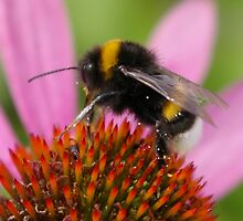 Bee on an Echinacea by leanajalukse