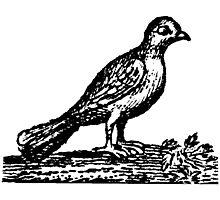 Pedestrian Pigeon.   Photographic Print