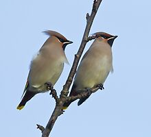 Pair of Waxwings (Bombycilla garrulus) by Gabor Pozsgai
