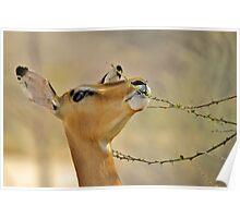 Impala - Pleasure of Food - African Wildlife Background Poster