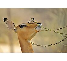 Impala - Pleasure of Food - African Wildlife Background Photographic Print