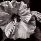 Rose Mallow Bloom by LouiseK