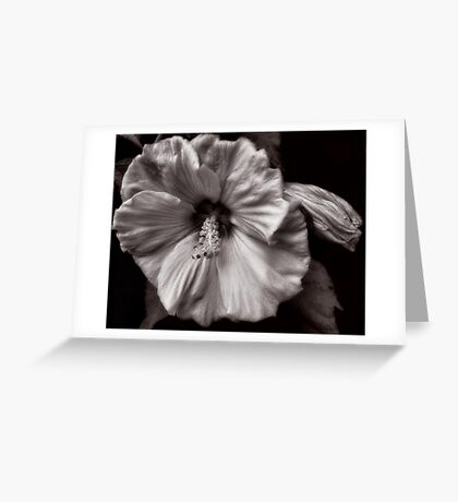 Rose Mallow Bloom Greeting Card